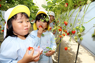 石巻みづほ幼稚園 地元農園でイチゴ狩り