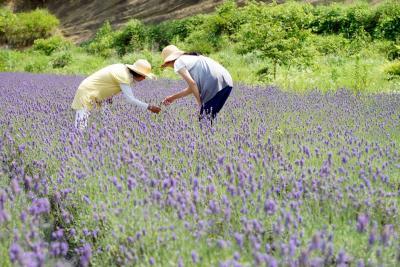 東松島大塩 涼やかな香りに包まれて ハーブ、ラベンダー園一般開放