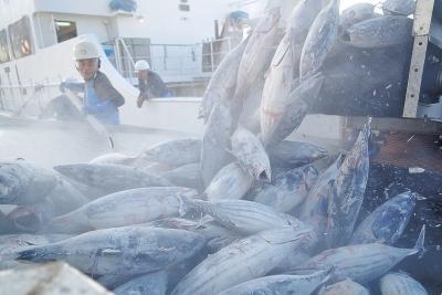 石巻に遠洋一本釣り船 高鮮度冷凍カツオ水揚げ 3年連続 定着図る