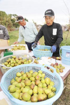 被災農地のイチジク初出荷 奥松島果樹生産組合「いちじくの里」 組合員の努力も大きく実る