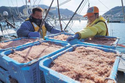 桜色のイサダが次々に港に揚げられた