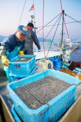 コウナゴ今季も豊漁なるか 石巻魚市場で初水揚げ 全国的品薄 県産に注目