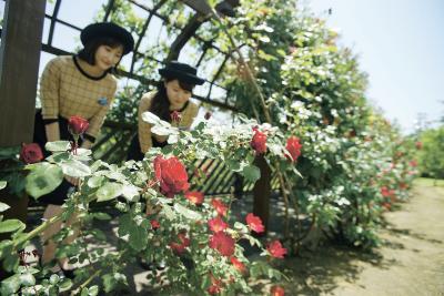 「しあわせのバラのトンネル」の花...