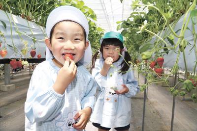 摘みたてのイチゴを食べる園児たち