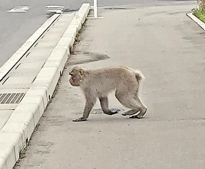 女川駅前に姿を見せたニホンザル(...
