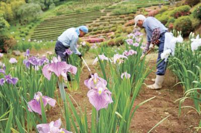 きょうは 夏至 花菖蒲しっとり美しく 零羊崎神社 23日からあやめ祭り