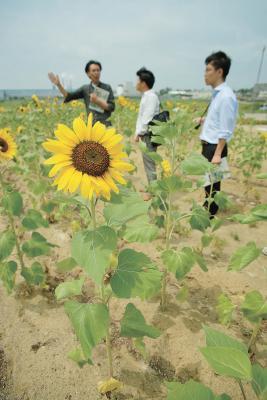 大暑なんの ど根性ひまわり 8世代目たち咲き誇る お日様が栄養すくすく成長