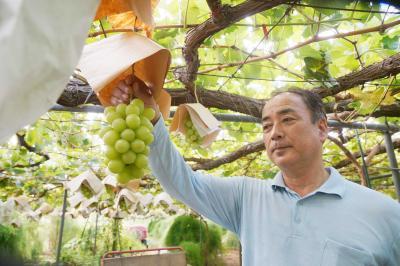 東松島市の木村果樹園 ずっしりとシャインマスカット ブドウの香り広がる