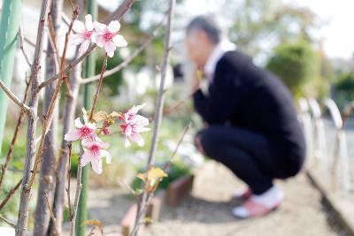 10日ほど前から花を付けたソメイヨ...