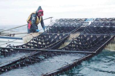 ノリ摘み採り 本格化 湾の恵み黒々と 21日の初入札控え