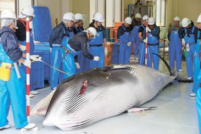 鮎川浜を基地に行われた調査捕鯨(...