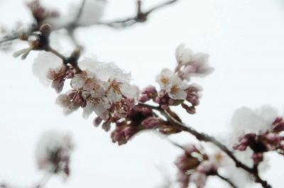 開花したソメイヨシノにも雪が積も...