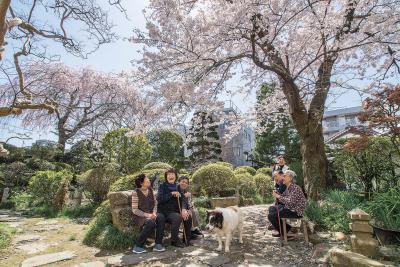 石巻市 秋田屋庭園 街なかの観桜スポット 20―21日に公開