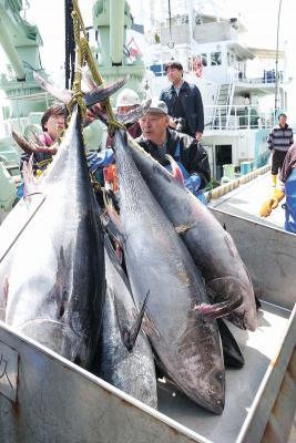 どんと水揚げクロマグロ 巻網船が初入港 夏漁に期待膨らむ