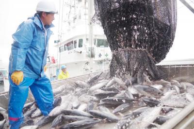 石巻魚市場 初物の輝き生カツオ25トン 夏漁の花形がお目見え