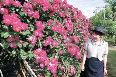 原子力PRセンター  30日までフェア 70種のバラ見ごろ 高貴な色と香りがお出迎え